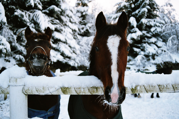Two horses looking over a fence after Christmas